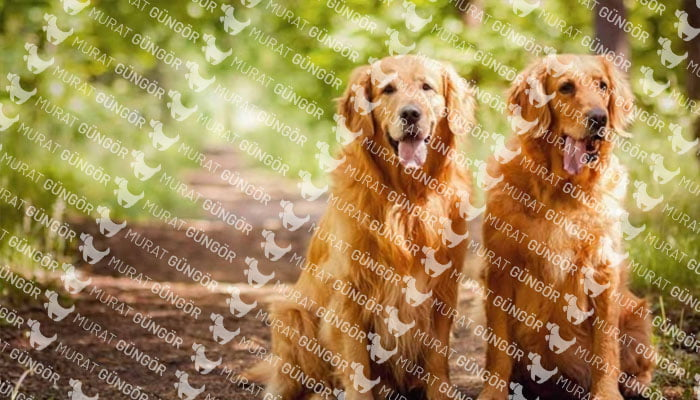 Köpek Eğitiminin Golden Cinsi İçin Önemi