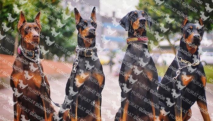 Doberman Köpeğinin Özellikleri
