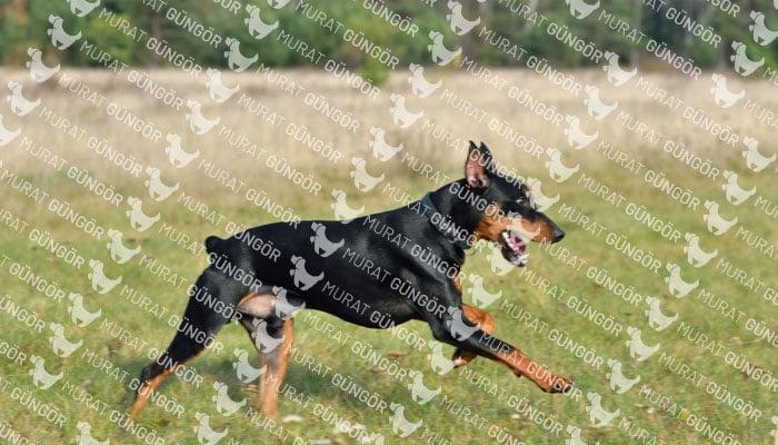 Doberman Köpek Eğitimi Nasıl Yapılır?