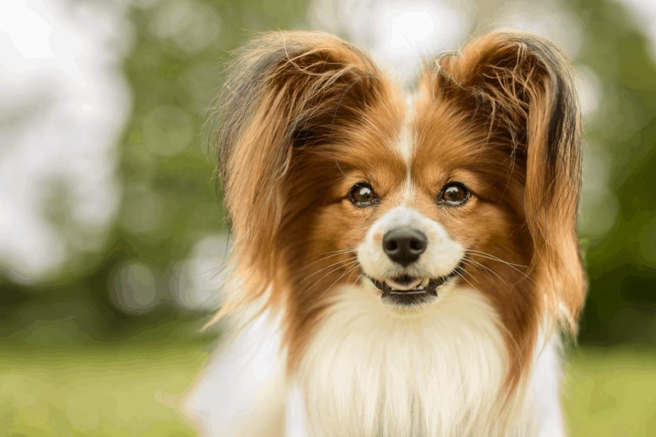 Köpekler Nasıl Ödüllendirilmeli?