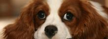 dişi köpek adet dönemi