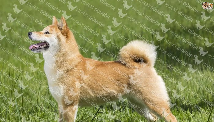 Shiba Inu Köpeği Tarihi