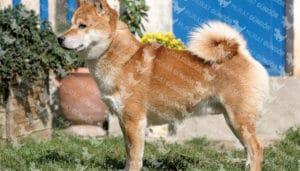 Shiba Inu köpeği apartman dairesinde yaşayabilir mi