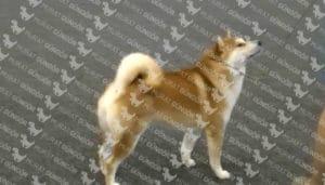 Shiba Inu köpeği sağlık durumu