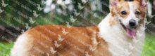 Pembroke Welsh Corgi Eğitimi Ve Özellikleri