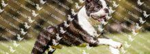 Boston Terrier İtaat Eğitimleri